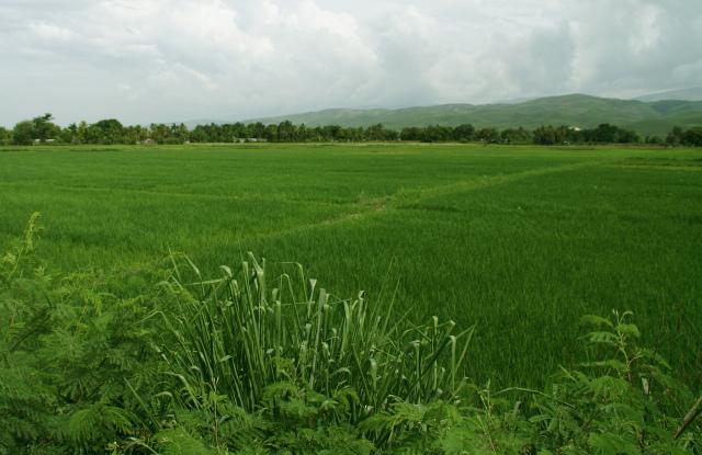 Haiti rice field